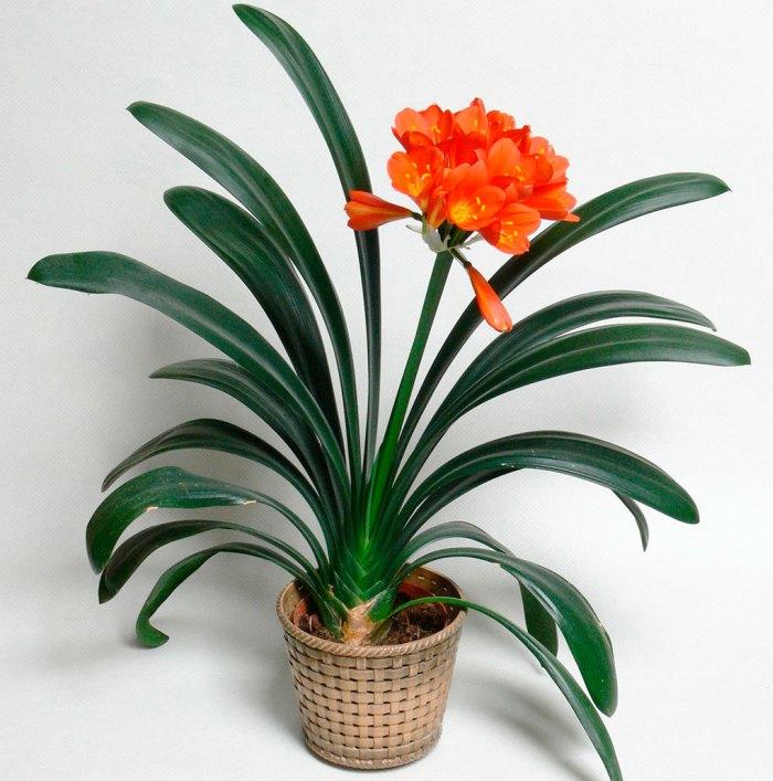 кливия цветок фото