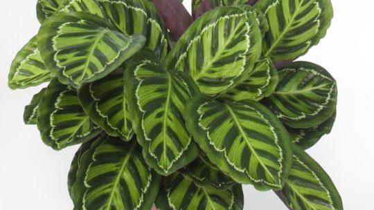 Калатея — уход в домашних условиях, как ухаживать, чтобы растение радовало, фото, видео