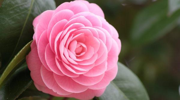 камелия цветок фото