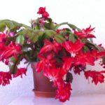 Декабрист – красивое растение, не требующее особого ухода. Обильное цветение – это подарок природы