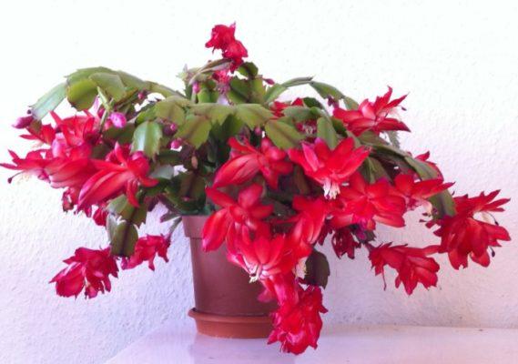 Цветок декабрист, уход в домашних условиях