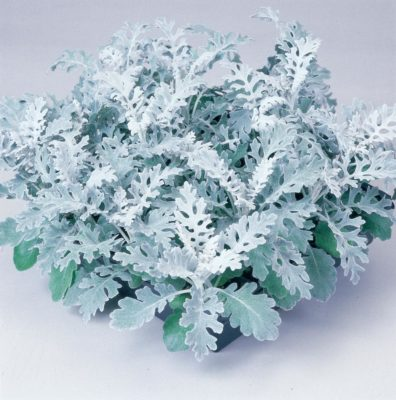 цветы цинерария фото