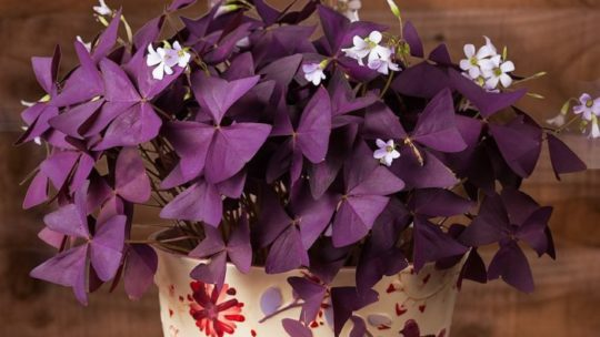 Комнатный цветок кислица или оксалис: виды с фото