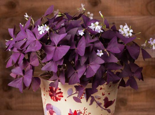 цветок Бабочка уход в домашних условиях
