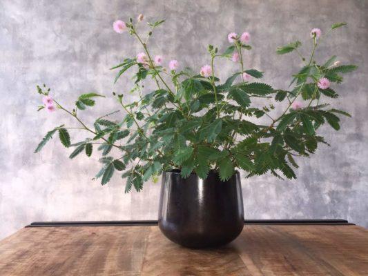 Мимоза растение фото