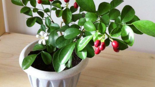 Как выращивать мурайю в домашних условиях. Это настоящая домашняя аптечка