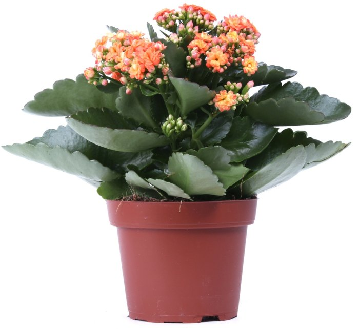 полезные цветы для квартиры
