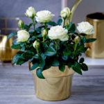 Правильный уход за комнатной розой в домашних условиях