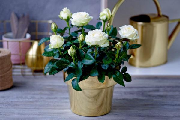 как часто поливать розу в горшке дома
