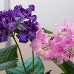 Стрептокарпусы: уход, выращивание, особенности полива, разведение, советы и рекомендации