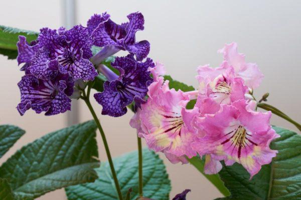 цветок стрептокарпус уход и размножение