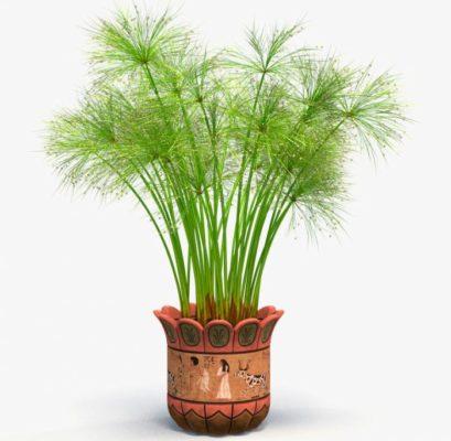 Циперус комнатное растение фото