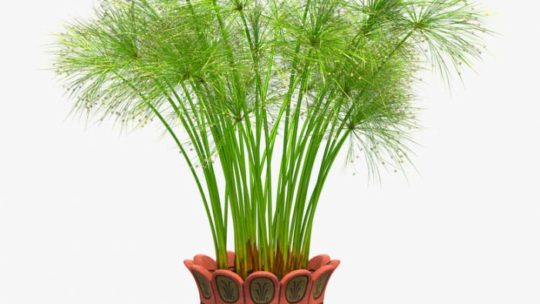 Уход за циперусом в домашних условиях, размножение растения семенами и другими вариантами + фото и видео