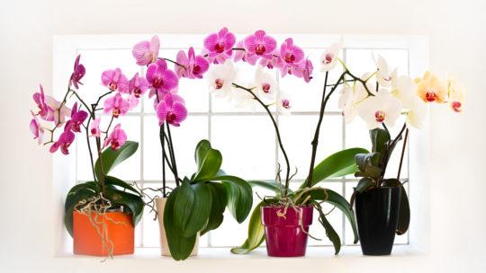 Виды орхидей: сколько разновидностей комнатных растений существует и все ли можно выращивать в горшках, название, фото и цвета фаленопсисов и других сортов