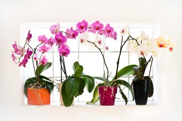 орхидеи фаленопсис расцветки