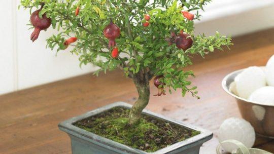 Выращивание комнатного граната из семян в домашних условиях