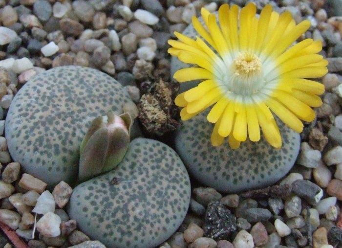 Живые камни у вас дома. Литопс – супер суккулент. Советы по выращиванию и уходу