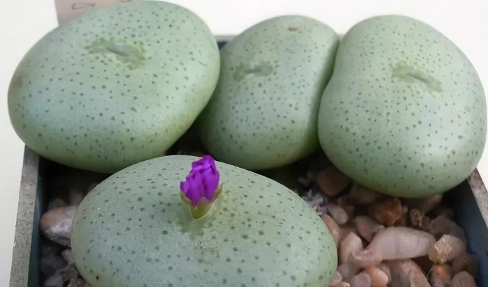 живой камень цветок фото